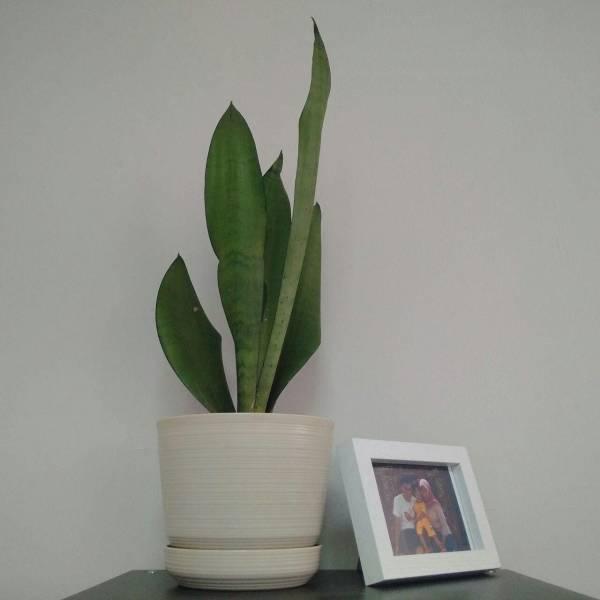 Bunga Lidah Mertua